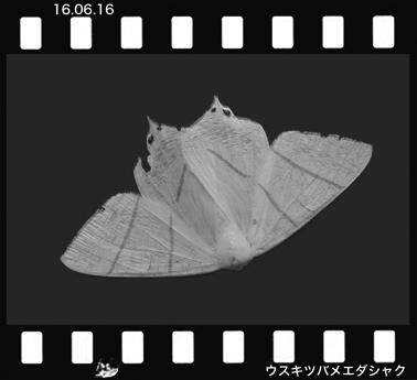 Medasyaku160616.jpg