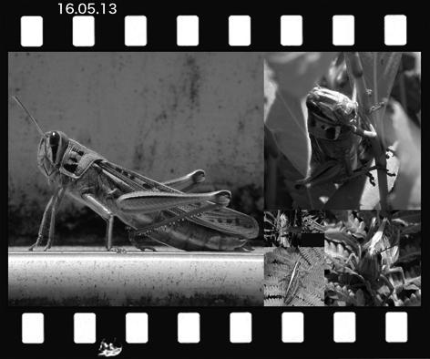 Mtuchiinago160513.jpg